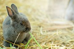 Innocent little gray Rabbit in straw. Have some space for writ wording Royalty Free Stock Image