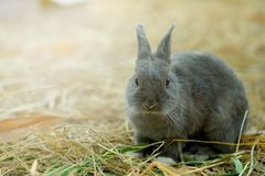 Innocent little gray Rabbit in straw. Have some space for writ wording Royalty Free Stock Photos