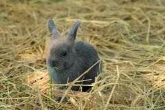 Innocent little gray Rabbit in straw. Have some space for writ wording Stock Photos