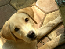 Innocent look. A cute Labrador pup looking with love and innocence in his hazel colored eyes Stock Photo