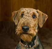 Innocent looking airedale terrier dog. Airedale terrier with an innocent looking expression on his face, stating not guilty royalty free stock image