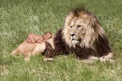 Baby sleeping on lion stock photo