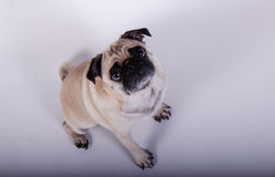 Innocent pug dog Royalty Free Stock Image