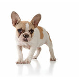 Innocent Puppy Dog Looking Lonely on White Backgro Stock Photography