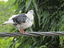 Innocent white pigeon watching. Innocent white pigeon bird watching `symbol of peace`  `King of pigeon` Indian pigeon Stock Images