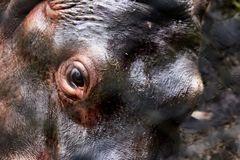 Innocent and wild look. Closed shot, from the innocent look of a small two-year-old hippopotamus, found in a zoo in Cundinamarca, Colombia royalty free stock images