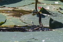Innocuous snake hunting on the frog. Volga. Royalty Free Stock Photography