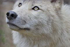 Innocuous wolf. White wolf in the zoo Royalty Free Stock Photography