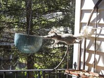 Innovative Grey Squirrel Looking for Peanuts Dangling off Bakers Rack Stock Images