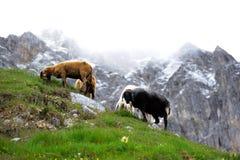 Innsbruck Sheeps Imágenes de archivo libres de regalías