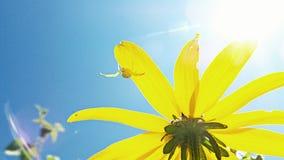 Inny żółty czarny kwiat Fotografia Stock