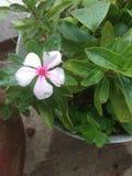 Inocencia solitaria de la flor blanca foto de archivo