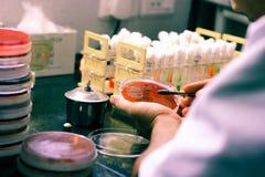Inoculação bacteriana em uma placa de cultura usando o laço da inoculação pelo técnico de laboratório do cientista no laboratório imagens de stock royalty free