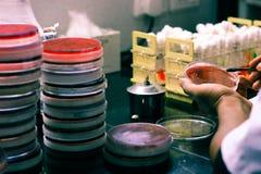 Inoculação bacteriana em uma placa de cultura usando o laço da inoculação pelo técnico de laboratório do cientista no laboratório fotos de stock royalty free