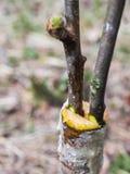 Inocula??o na primavera de ?rvores de ma?? nos raspis crossbreeding fotografia de stock