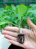 Inoculation plant seedling pepper in hand Royalty Free Stock Photo