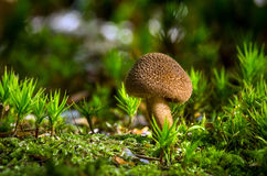 Inocybe Photographie stock