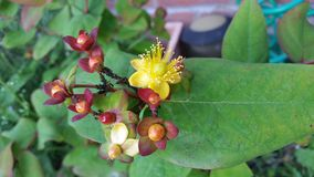 Inodorum 'Elstead' do Hypericum x, Imagem de Stock