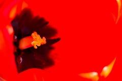 Inom av en tulpan Royaltyfri Fotografi