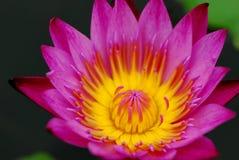 Inom den rosa lotusblomman Arkivbilder