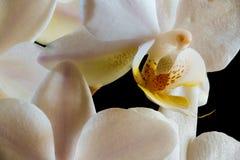 Inom en orkidé Royaltyfri Bild