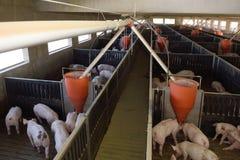 Inom en svinfarm för Arkivfoto