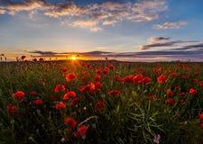 Inom ett fält av poppys Royaltyfri Fotografi