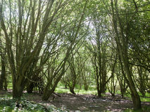 Inom ett trä med träd Arkivbilder