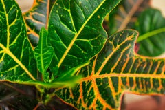 Inomhus blommacodiaeumcroton eller nyanserad, grön och gul le Arkivfoto