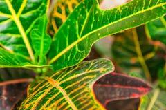 Inomhus blommacodiaeumcroton eller nyanserad, grön och gul le Royaltyfria Bilder