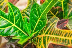 Inomhus blommacodiaeumcroton eller nyanserad, grön och gul le Arkivfoton
