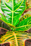 Inomhus blommacodiaeumcroton eller nyanserad, grön och gul le Arkivbild