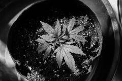 Inomhus cannabis Gorilla Grow Arkivfoto