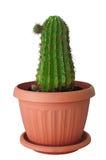 inomhus kruka för brun kaktus Arkivfoto