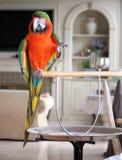 inomhus macaw Fotografering för Bildbyråer