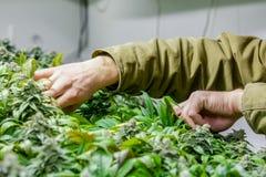 Inomhus marijuana växer rum med att klippa för händer arkivfoton