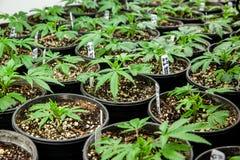 Inomhus marijuanaklon i jordbehållare fotografering för bildbyråer