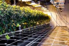 Inomhus marijuanaväxter i påsar av jord fotografering för bildbyråer