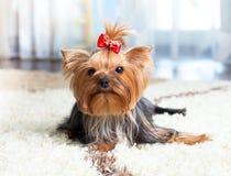 inomhus nätt terrier yorkshire för hund Arkivfoton
