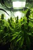 Inomhus odling för cannabis - cannabis växer asken Arkivbild