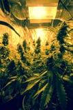 Inomhus odling för cannabis - cannabis växer asken royaltyfri foto