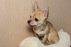 Inomhus stående av den nyfikna Chihuahuavalpen royaltyfri foto