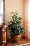 Inomhus växt i krukan i inre Arkivfoton