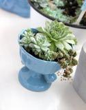 Inomhus växt-suckulenter i kruka Royaltyfria Bilder