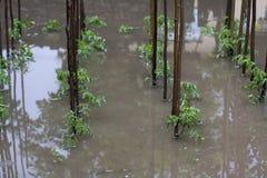 Inondazione del pomodoro Immagini Stock Libere da Diritti