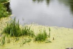 Inondez l'eau avec le roseau vert pendant la saison d'été photo stock