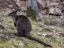Inondez le wallaby, Wallabia bicolore, êtes l'un des kangourous plus petits photographie stock libre de droits