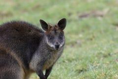 Inondez le wallaby, Wallabia bicolore, portraits principaux tout en alimentant sur l'herbe dans un domaine images stock