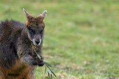 Inondez le wallaby, Wallabia bicolore, portraits principaux tout en alimentant sur l'herbe dans un domaine photographie stock