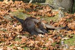 Inondi il wallaby, Wallabia bicolore, ? uno di pi? piccoli canguri fotografia stock